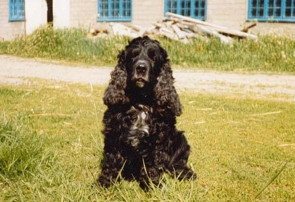 Cockados One by One (Coco) min första hund