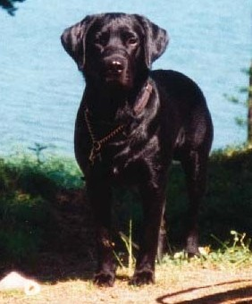 A black dog; Actual size=240 pixels wide